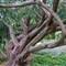 Taxus-baccata(-Dovastoniana)--tree