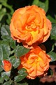 My favourite  - Bright Orange Roses