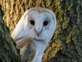 A Barn Owl