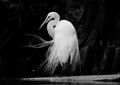 ----the GREAT EGRET----