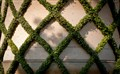 Ivy Lattice - Waddesdon Manor, UK
