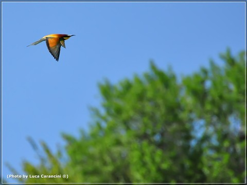 Merops apiaster (Gruccione) n.7