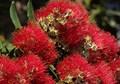 New Zealand Pohutakawa Blossom