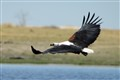 Fish Eagle in Chobe