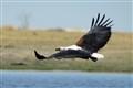 Fish Eagle in Chobe