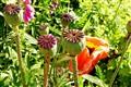 Poppyplant