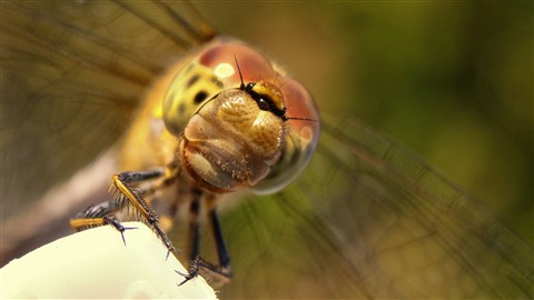 Dragonfly in my garden 2