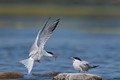 Common tern feeding its mate with fish