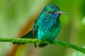 green emerald humming