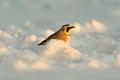 Meadowlark seeking food in the recent snows.