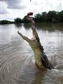 Australian jumping Crocodile