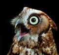 A resident at Sweetbriar Nature Center. Pumpkin the Screech Owl