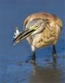 Squacco Heron 4