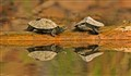 MAP TURTLE PAIR