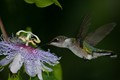 Hungry Hummingbird