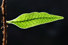 Small leaf against sunlight