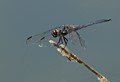 BLUE DRAGON  -  MALE SLATY SKIMMER