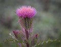 thistle and friend