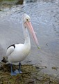 An Australian pelican - I was unaware that our pelicans had either grey OR blue feet.