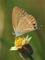 tinny butterfly