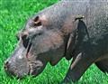 hippo & oxpecker