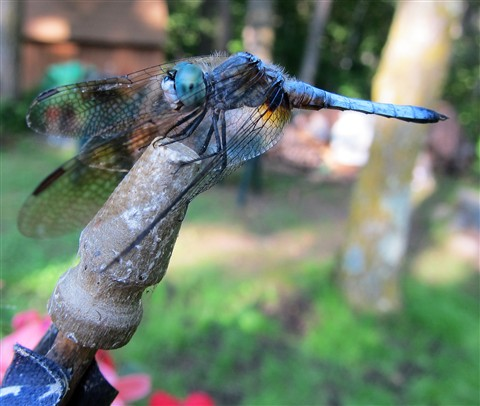Wind on the Wings of a Dragonfly