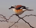 Shrike amongst the spikes