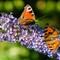 2_Butterflies