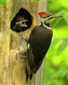 Female Pileated Woodpecker with young