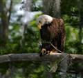 Eagle dp
