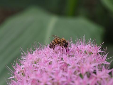 Bee on bigger flower