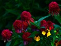 echinacea and helenium