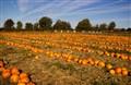 Pumkin field