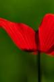 Winter poppy