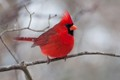 Red Cardinal on a Cold Day