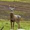 Deer (220)