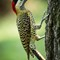 green-barred_woodpecker