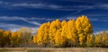 A cluster of aspen trees at their peak color, standing next to US Hwy-89/191 in Grand Teton National Park, Wyoming, USA, near the turnoff to Jackson Lake Dam.