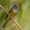 5 feb 17 grassfarm grey-headed canary fc 4 alt