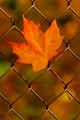 Nice Leaf in Fence