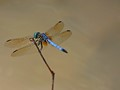 Dragonfly over Muddy Waters