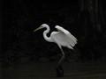 Bird in borneo