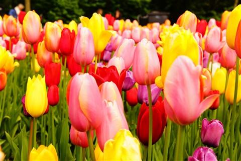 Tulip 2 80