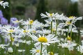 Winded daisies