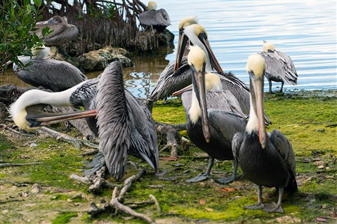 Pelican Colony on Key Largo, Florida (Pelecanus occidentalis)