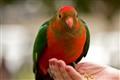 p\king parrot