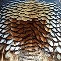 Feathers of a Quail