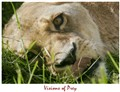 lioness_visions_7372