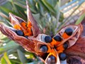 Seed pods of a Strelitzia Flower