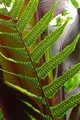 Fern Frond with Spores